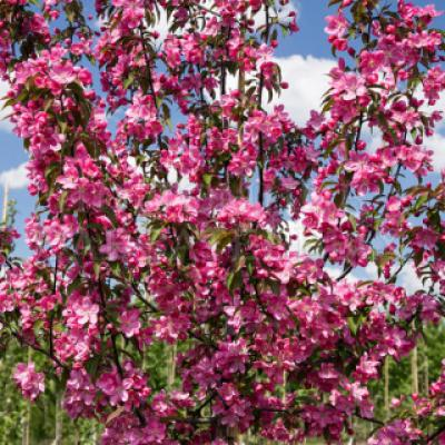 Яблоня декоративная «Ола» (Malus «Оlа»).