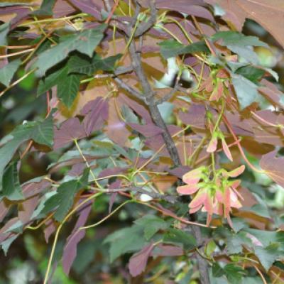 Клен ложноплатановый, явор, белый клен «Атропурпуреум» (Acer pseudoplatanus «Atropurpureum»)