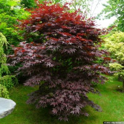 Клен веерный, дланевидный «Бладгуд» (Acer palmatum «Bloodgood»)