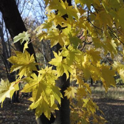 Клен ложнозибольдов (Acer pseudosieboldianum)