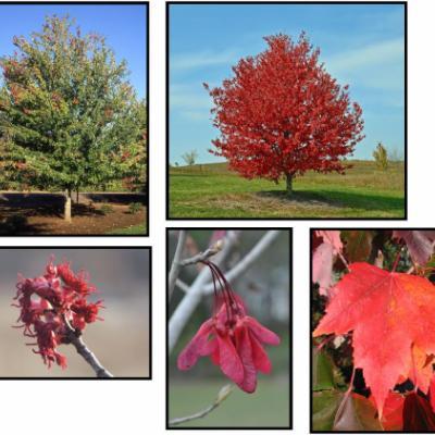 Клен красный «Ред Сансет» = «Франксред» (Acer rubrum «Red Sunset» = «Franksred»)