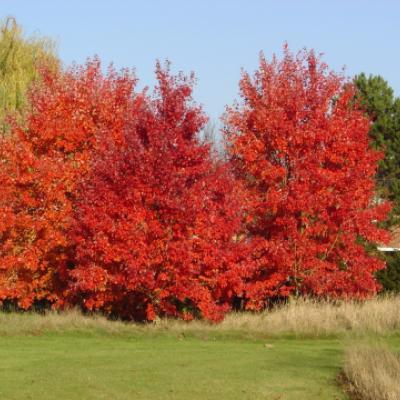 Клен красный «Октобер Глори» (Acer rubrum «October Glory»)