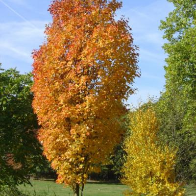 Клен красный «Колумнаре» (Acer rubrum «Columnare»)