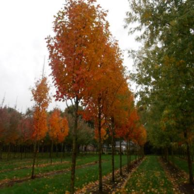 Клен красный «Сканлон» (Acer rubrum «Scanlon»)