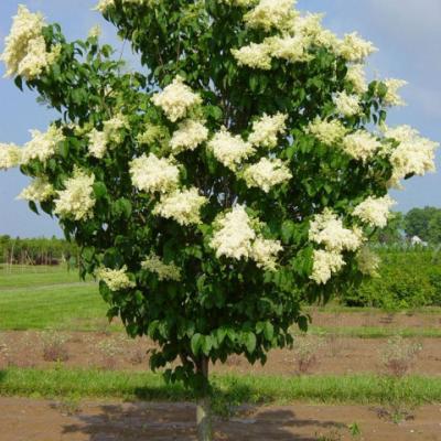 Сирень сетчатая «Ивори силк» (Syringa reticulata «Ivory Silk»).