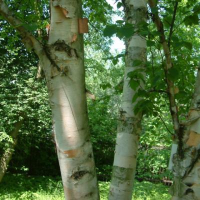 Береза бумажная (Betula papyrifera)