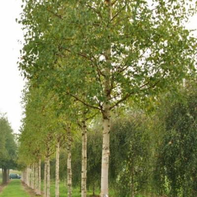 Береза Эрмана, каменная «Холанд» (Betula ermanii «Holland»)