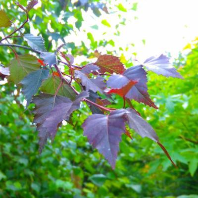 Береза повислая, бородавчатая, плакучая «Royal Frost» (Betula pendula «Royal Frost»)