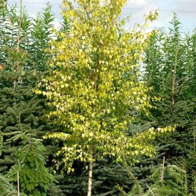 Береза пушистая «Аурея» (Betula pubescens «Aurea»)