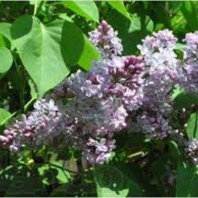 Сирень гиацинтоцветная «Черчиль» (Syringa × hyacinthiflora «Churchill»).