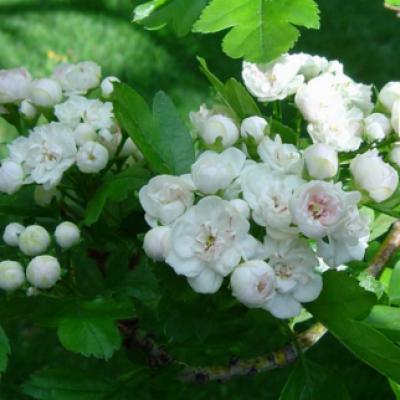 Боярышник морденский (Crataegus × mordenensis)