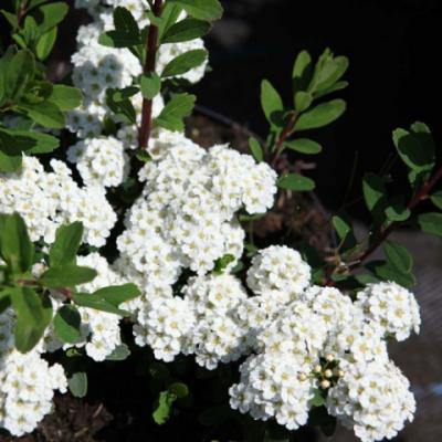 Спирея ниппонская «Гелспир» = «Вайт карпет» (Spiraea nipponica «Gelspir» = «White Carpet»).