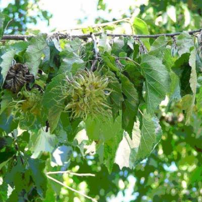 Лещина древовидная, медвежий орех (Corylus colurna)