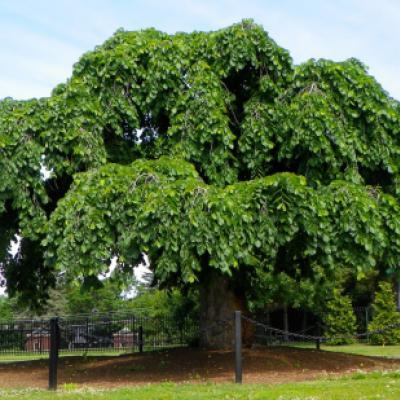 Вяз гладкий, обыкновенный (Ulmus laevis)