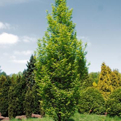 Граб обыкновенный «Фастигиата» (Carpinus betulus var. pyramidalis = Carpinus betulus «Fastigiata» = Carpinus betulus var. pyramidalis)