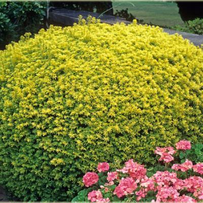Тис ягодный «Аурея Декора» (Taxus baccata «Aurea Decora»)