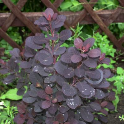 Скумпия обыкновенная «Роял Перпл» (Cotinus coggygria «Royal Purple»).