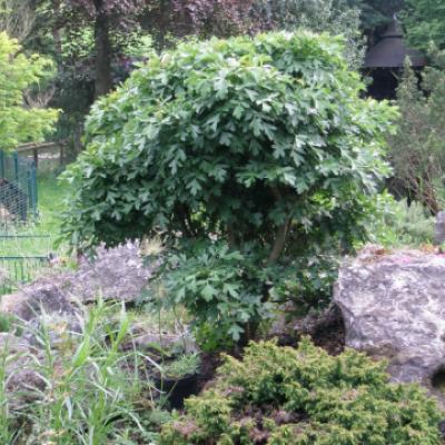 Боярышник однопестичный «Компакта» (Crataegus monogyna «Compacta»)
