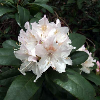 Рододендрон кавказский «Каннингемс Уайт» (Rhododendron «Cunninghams White» (Rhododendron caucasium, James Cunningam 1830)