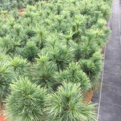 Сосна шверина «Вайтхорст» (Pinus schwerinii «Wiethorst»)