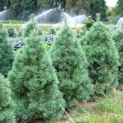 Сосна веймутова горная «Амерланд» (Pinus monticola «Ammerland»)