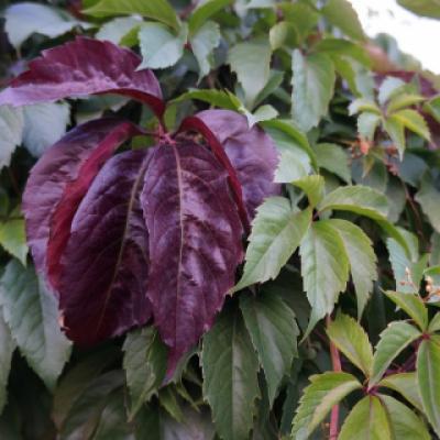 Девичий виноград пятилисточковый (Parthenocissus quinquefolia).