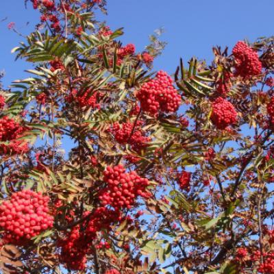 Рябина обыкновенная (Sorbus aucuparia).