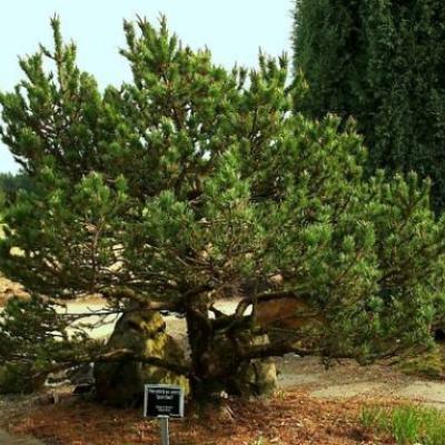 Сосна скрученная (Pinus contorta)