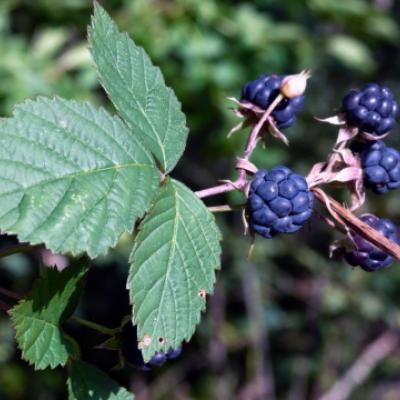 Ежевика сизая (Rubus caesius).