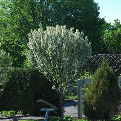 Яблоня «Адирондак» (Malus «Adirondack»)