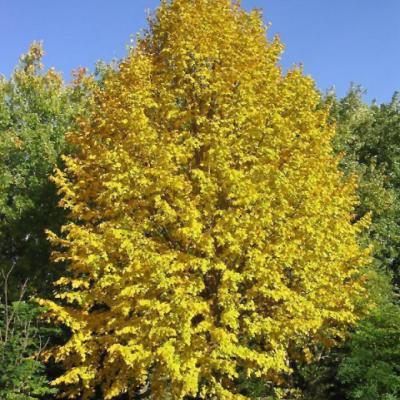 Липа монгольская (Tilia mongolica).