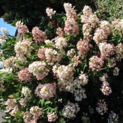 Гортензия метельчатая «Аммарин» (Hydrangea paniculata «Ammarin»).