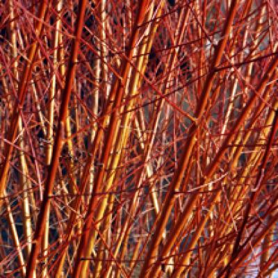 Ива «Стрела Купидона» (Salix «Strela Kupidona»)