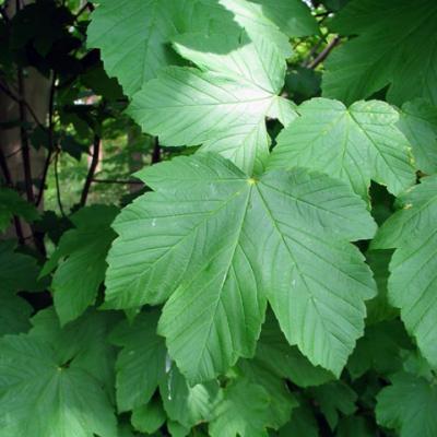 Клен ложноплатановый, явор, белый клен (Acer pseudoplatanus)