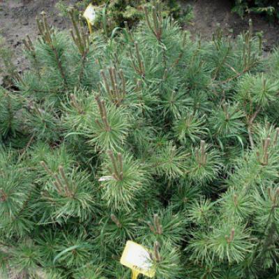 Сосна густоцветковая «Глаука» (Pinus densiflora «Glauca»)
