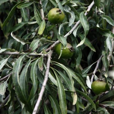 Груша иволистная (Pyrus salicifolia)