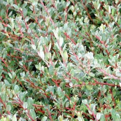 Ива «Тукимо» (Salix × aurora «Tuhkimo» = S. × finnmarchica)