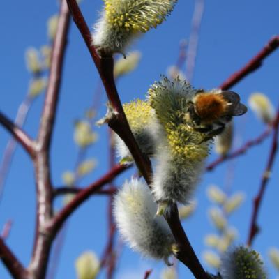 Ива волчниковая, верба, шелюга желтая (Salix daphnoides)
