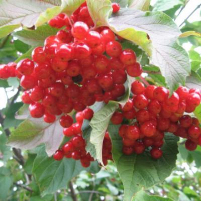 Калина «Шукшинская» (Viburnum opulus «Shykshinskaya»).