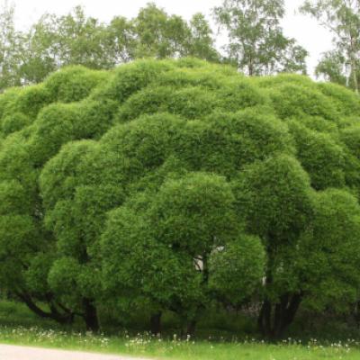 Ива ломкая (Salix × fragilis )