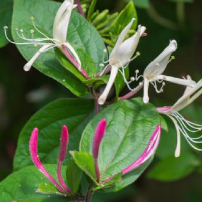 Жимолость ползучая (Lonicera japonica var. Repens).