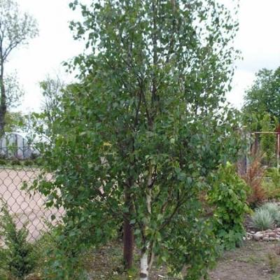Береза повислая «Фастигиата» (Betula pendula «Fastigiata»)