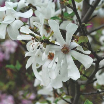 Магнолия Лёбнера (Magnolia × loebnerii)