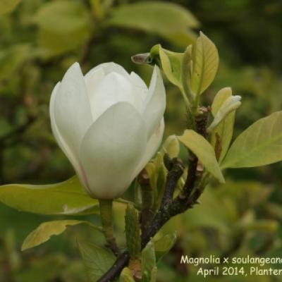 Магнолия Суланжа «Линей» (Magnolia x soulangeana «Lennei»)