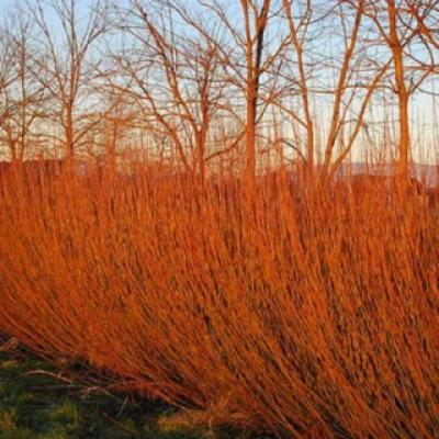 Ива Басфордиана (Salix xrubens)