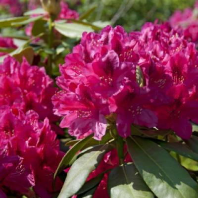 Рододендрон катевбинский «Нова Зембла» (Rhododendron «Nova Zembla») (M. Koster & Scohne um 1920, NL).
