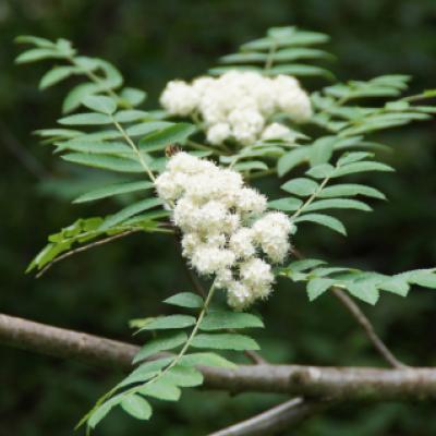 Рябина обыкновенная «Россика Майор» (Sorbus aucuparia «Rossica Major»)