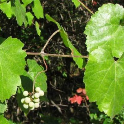 Виноград калифорнийский ( Vitis californica )