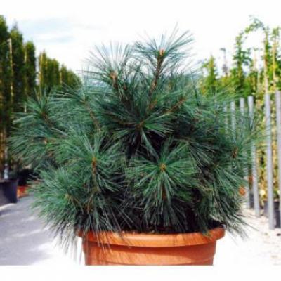 Сосна гималайская «Нана» (Pinus wallichiana «Nana»)