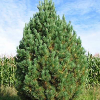 Сосна кедровая сибирская, кедр сибирский (Pinus sibirica = P. cembra var. sibirica)